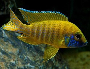 Yellow Peacock Cichlid - African Cichlid -