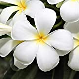 Hawaiian White Plumeria Plant Cutting ~ Grow Hawaii