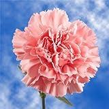 GlobalRose Best Pink Carnations - 100 Pink Carnations