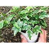Puspita_Nursery English Ivy Live Indoor Plant for Decoration of Loving Space with Best Looking Leaves