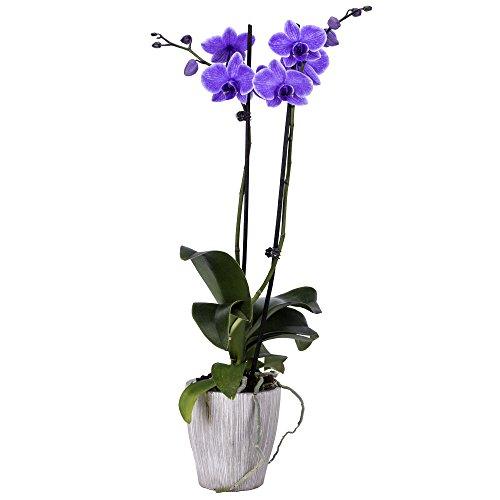 DecoBlooms Living Purple Orchid Plant - 5 inch Blooms - Fresh Flowering Home Décor