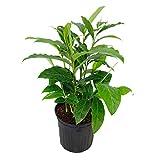 PlantVine Alpinia purpurata, Red Ginger - Large - 8-10 Inch Pot (3 Gallon), Live Plant