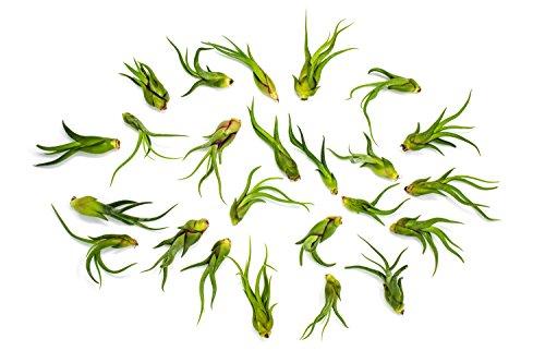 24 SMALL Caput Medusae Air Plants - 3 to 5 inch Tillandsias - Live House Plants for Sale - Indoor Terrarium Air Plants