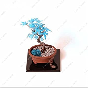 50 Pc Seltene China Bule Ahorn Bonsai Baum Samen Rare Sky Blue