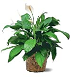 Peace Lily Plant, Premium