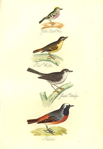 British Birds Golden Crested Wren Reed Warbler Pettichaps Redstart Mudie 1835 Amazon Co Uk Kitchen Home