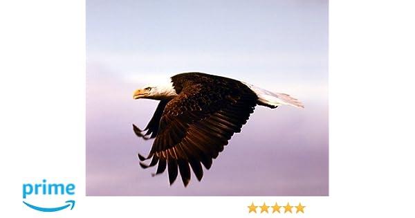 American Bald Eagle in Flight Bird Animal Wall Decor Art Print Poster 16x20
