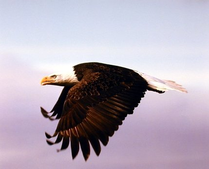 - American Bald Eagle in Flight Bird Animal Home Wall Decor Art Print Poster (16x20)
