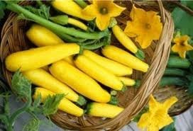 Squash Early Prolific Straightneck Garden Heirloom Vegetable BULK 1,000 Seeds