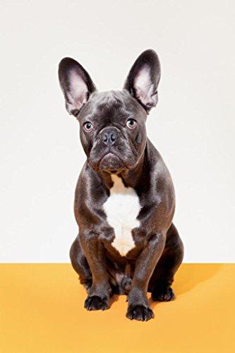 Portrait of French Bulldog Sitting Photo Art Print Poster 24x36 inch