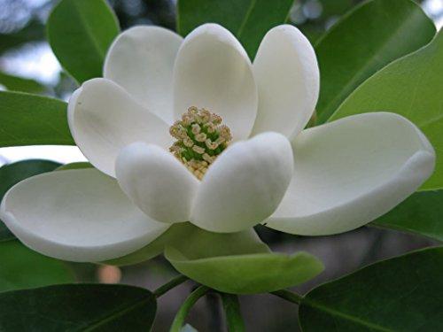 - SWEETBAY MAGNOLIA Laurel Magnolia Swamp Magnolia (Magnolia virginiana) qt. pot
