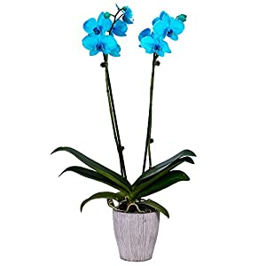 DecoBlooms Living Aqua Orchid Plant – 5 inch Blooms – Fresh Flowering Home Décor