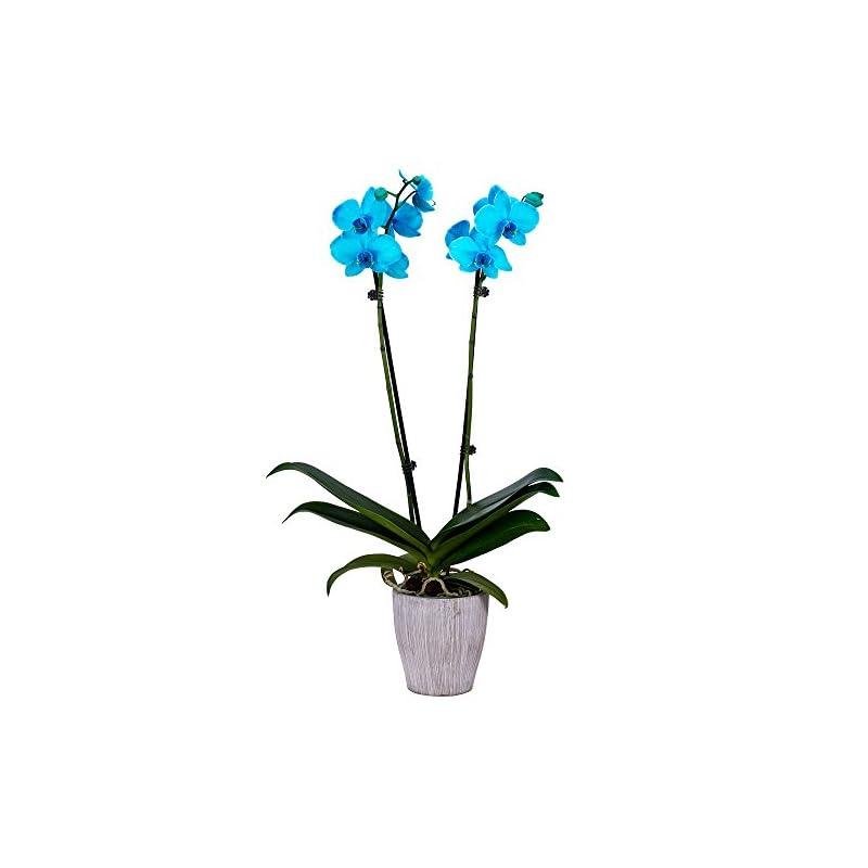 silk flower arrangements decoblooms living aqua orchid plant - 5 inch blooms - fresh flowering home décor