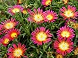 "(10 Count Flat - 4.5"" Pots), Iceplant, Delosperma Nubigena Wheels of Wonder 'Hot Pink Wonder'"