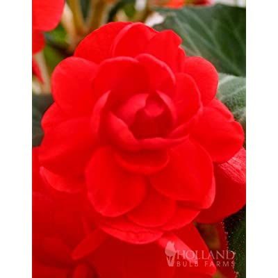 Scarlet Double Begonia : Garden & Outdoor