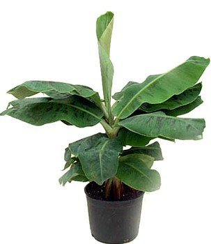 Super Dwarf Patio Banana Plant   Musa   Great House Plant   6u0026quot; ...