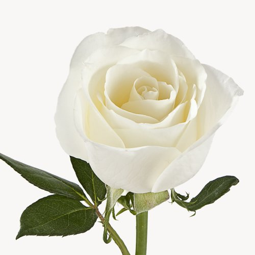 Wholesale Fresh Cut Roses from the Farm (75 White) by eFlowy