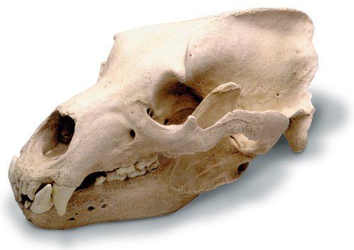 skullduggery 0210 Grizzly Bear Skull