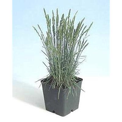 Ornamental Grass Seed - Koeleria Glauca Coolio Seeds : Garden & Outdoor