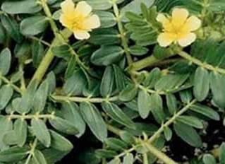 Tribulus, Powder - Wildcrafted - Tribulus terrestris (454g = One Pound) Brand: Herbies Herbs