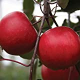 Burpee Redlove Calypso' Apple Fruit, 1 Bare Root Tree