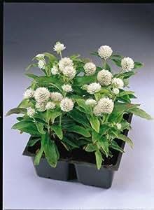 Gomphrena Gnome White 500 seeds