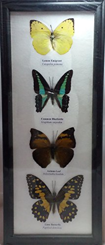 picture-frames-home-decor-real-4-mix-butterflies-collection-taxidermy-framed