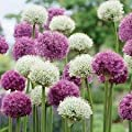 "A Sealed Mix Bag of 30 (15ea) Large Bulbs, 30"" Tall Allium Purple Sensation & Allium Mount Everest Bulbs, Hollandicum or Persian Onion ++ Deer Won't Eat"