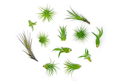 - Air Plant Variety Pack (24) Small Tillandsia Terrarium Kit - Assorted Species of Live Tillandsia - 2 to 5 Inch Each for Home Decor - Plants for Pets