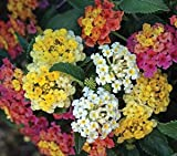 Lantana Camara Flowers - Two (2) Live Plants - plants, not seeds - Natural Mosquito Repellant Garden - Attracts Hummingbirds & Butterflies - Each in 4 inch Pots