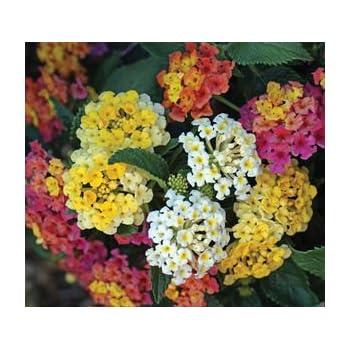 Amazoncom Lantana Camara Flowers Two 2 Live Plants Plants