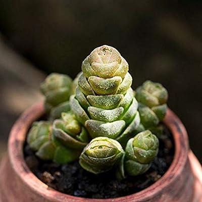 Succulent Live Plant - Crassula 'Emerald' : Garden & Outdoor