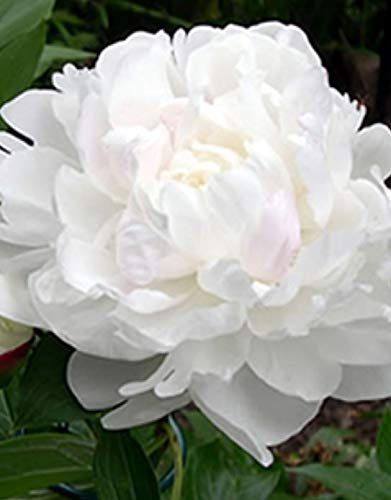 1x Frisch Pfingstrose weiß Duchesse de Nemours Pfingstrose Pflanzen K-P287