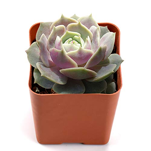 Succulent Echeveria 'Lola', Alabaster Wax Suffused with Violet, Rare Succulent as Houseplant in 2
