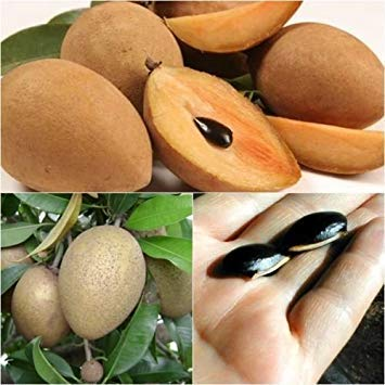 (vegherb 50 Seeds, Sapodilla, Fruit Seeds, Unique Tropical from Thailand)