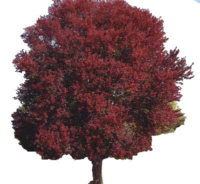 (Burgundy Belle Maple Tree - Acer rubrum