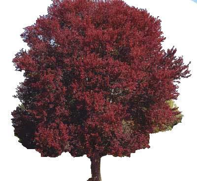 Burgundy Belle Maple Tree - Acer rubrum