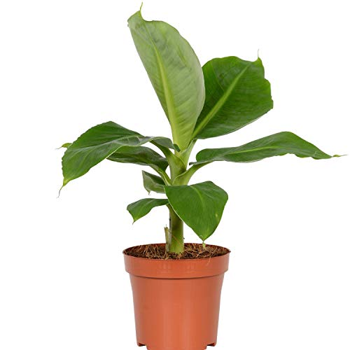 "AMERICAN PLANT EXCHANGE Super Dwarf Cavendish Banana Indoor/Outdoor Air Purifier Live Plant, 6"" Pot, Fruit Producing!"