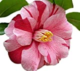 Lady Vansittart Variegated Camellia Japonica - Live Plant - Quart Pot