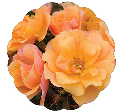 Stargazer Perennials Tequila Rose Plant | Reblooming Orange Shrub Rose | Low Maintenance Easy To Grow ()