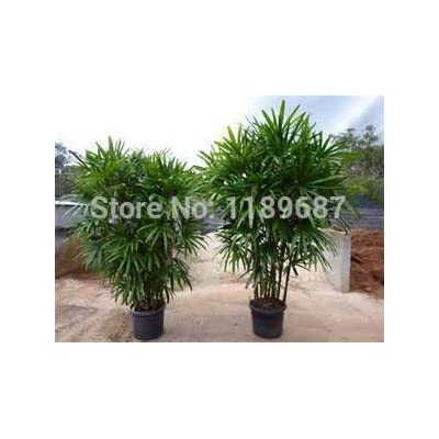 30 real fresh Bamboo Seeds zongzhu Excelsa Rhapis for home decoration : Garden & Outdoor