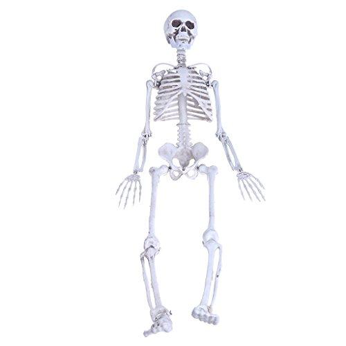 (Redriver Human Skeleton Medium Skull Full Body Anatomical Model For Halloween Medical)
