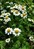 Feverfew Herb, Cut&Sifted - Wildcrafted - Tanacetum parthenium (454g = One Pound) Brand: Herbies Herbs