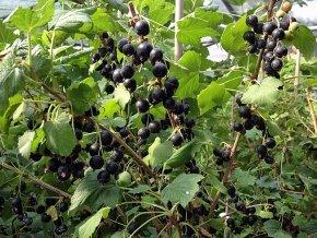 Schwarze Johannisbeere 'Titania' - Ribes nigrum 'Titania' von Native Plants