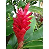 Ginger Plant - Hawaiian Red Ginger Starter Plant - Approx. 6 - 10 Inches