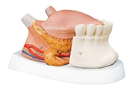 3B Scientific T12010 Modelo de anatomía humana Modelo de la Lengua ...