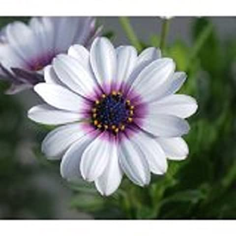 40+ White African Daisy Flower Seeds / Perennial
