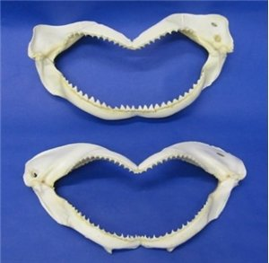 Real Black Tip Shark Tooth Teeth Mouth Jaw 8
