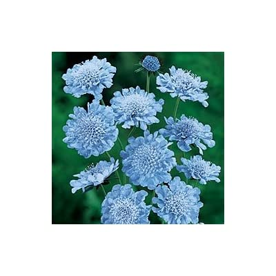 25+ Blue Scabiosa / Pincushion Flower Seeds / Perennial : Flowering Plants : Garden & Outdoor