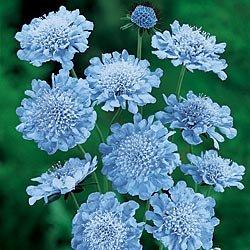 25+ Blue Scabiosa / Pincushion Flower Seeds / Perennial